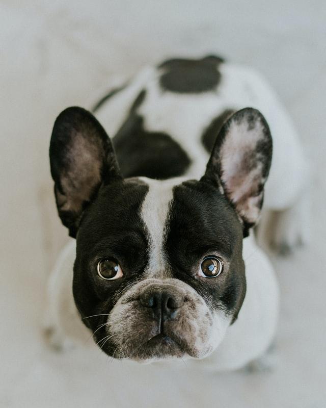 Buldogi to psy, któe nie potrzebują dużo ruchu. Wręcz przeciwnie, budowa ich kufy nie pozwala na odpowiedni oddech, przez co szybko się męczą.