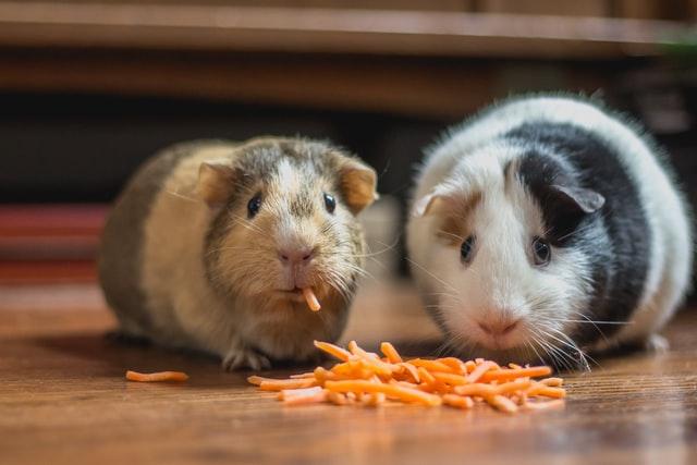 Decydując się na kupno lub adopcję zwierzaka mamy wiele opcji, jedną z nich są szeroko rozumiane gryzonie. Jednak czy jesteś gotowy zająć się małym, ale wymagającym zwierzakiem?