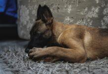 Większość ludzi wie, że psy lubią gryźć, dlatego powstały gryzaki dla psów. Żucie jest naturalnym zachowaniem wszystkich psów.