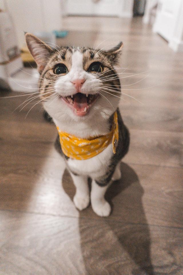 Koty dachowe, czyli mieszańce mają zazwyczaj odporniejsze zdrowie oraz żyją dłużej niż rasowe.