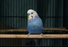 Ptaki domowe towarzyszą ludziom od setek lat. Początkowo jako egzotyczna ciekawostka, obecnie jako zwykłe zwierzątko domowe.
