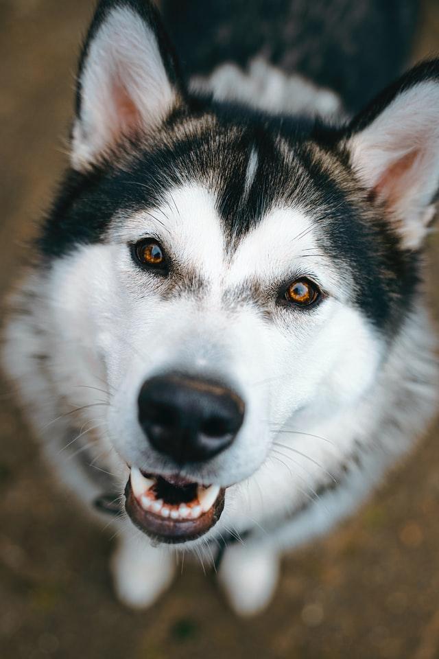 Hysky to pies, który potrzebuje codziennej dawki sportu, by pozbyć się energii. Dlatego nie nadają się dla ludzi, którzy nie mają czasu na długie spacery.