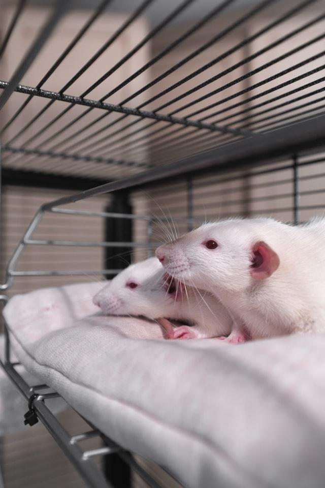 """Szczury można ąłtwo adoptować dzięki organizacjom """"lab rescue"""", czyli adoptującym zwierzaki z laboratoriów."""