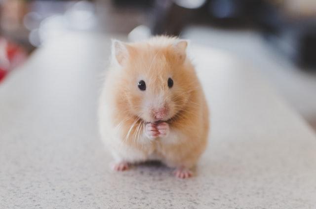 Chomiki są wymagającymi zwierzakami, mimo swojego niewielkiego rozmiaru. Warto wiedzieć o nich więcej zanim postanowimy kupić tego gryzonia.