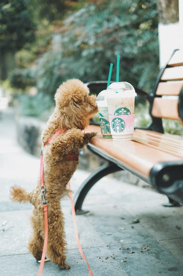 Psy kochają nowe zapachy - ten wącha mrożoną kawę stojącą na ławce.