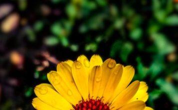 Nagietek lekarski jest popularnym kwiatem na herbaty kwiatowe.